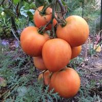 Tomate 'Winterkeeper'