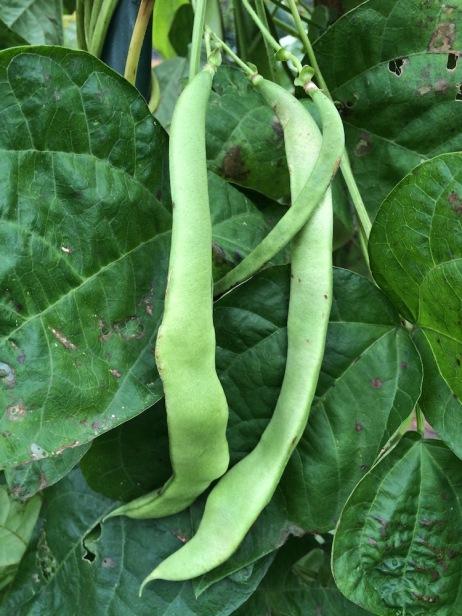 letzte grünen Bohnen