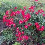 Rose im Oktober