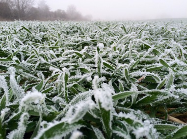 Feld im Frost