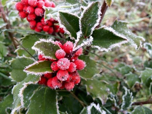 Stechpalme im Frost
