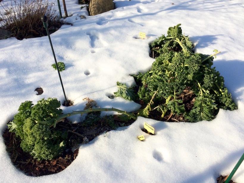 Grünkohl im Januar