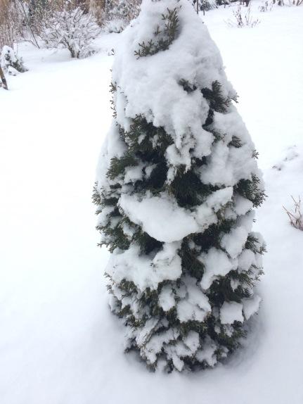 Konifere im Schnee