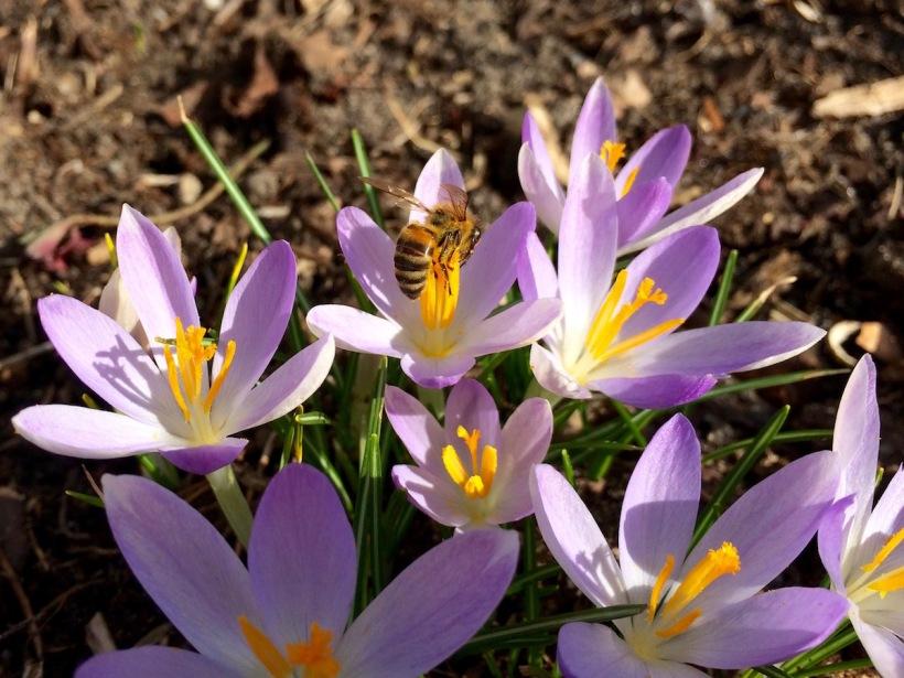 Feenkrokus mit Biene