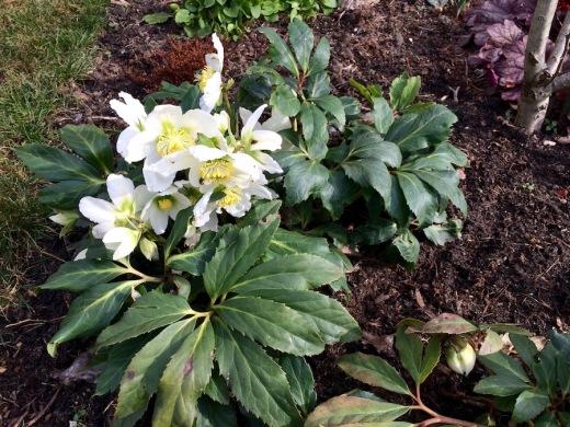 Christrose im März