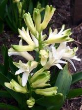 weiße Hyazinthe