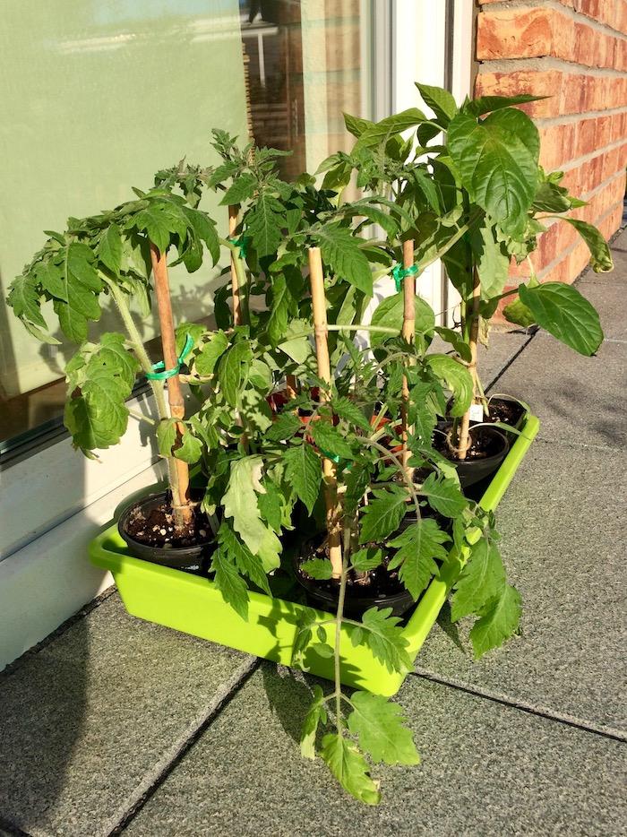 Tomaten abhärten