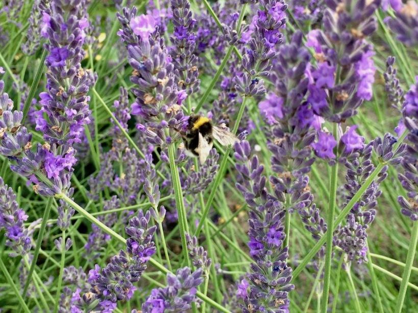 Gartenhummel Lavendel