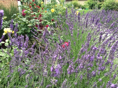 Lavendel mit Rosen