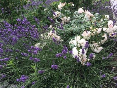 Lavendel mit weißen Rosen