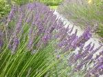Lavendelweg