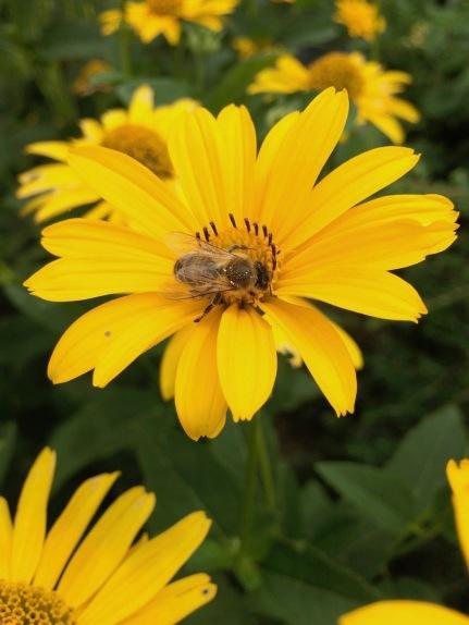 Biene auf Helianthus