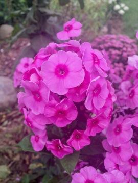 rosa Phlox