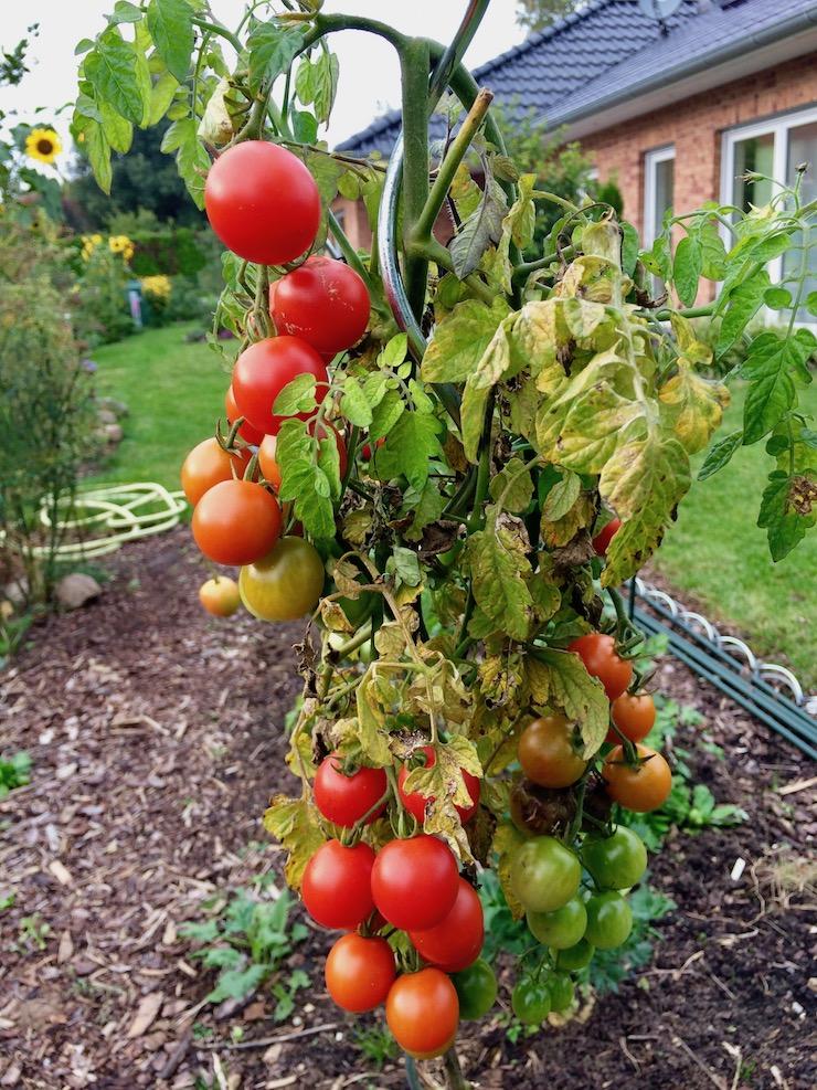 letzte Tomaten