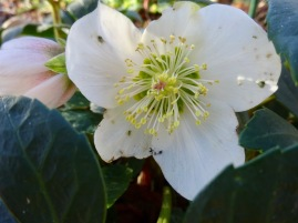 Blüte Christrose