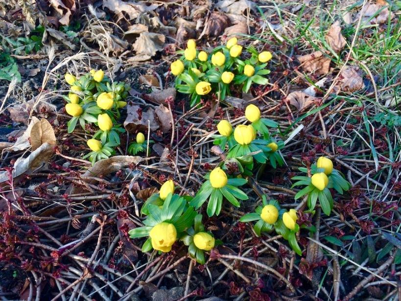 Winterlinge Februar