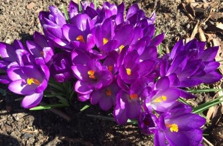 violette Krokusse
