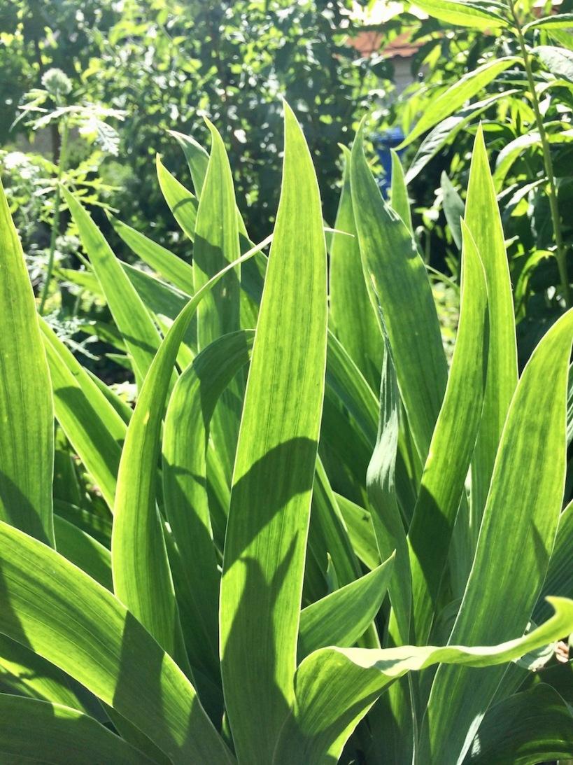 Blätter Iris