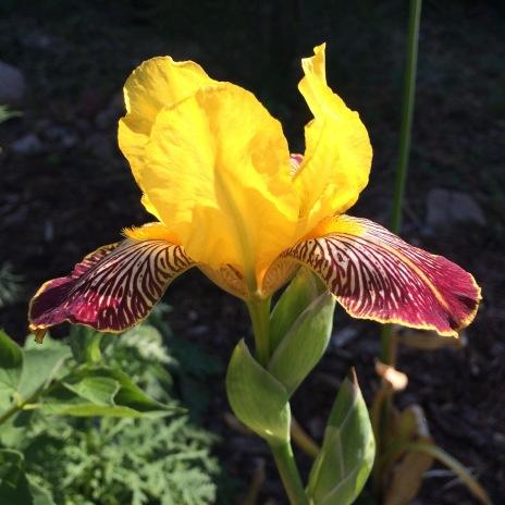 gelbbraune Schwertlilie